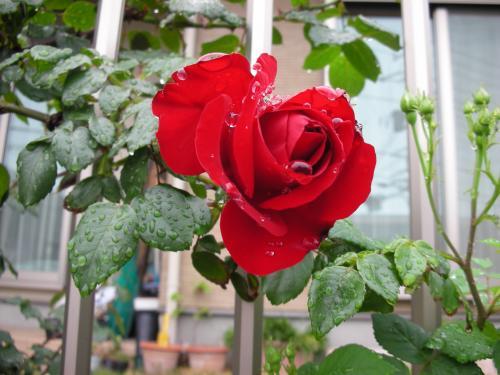 今年最初のバラ