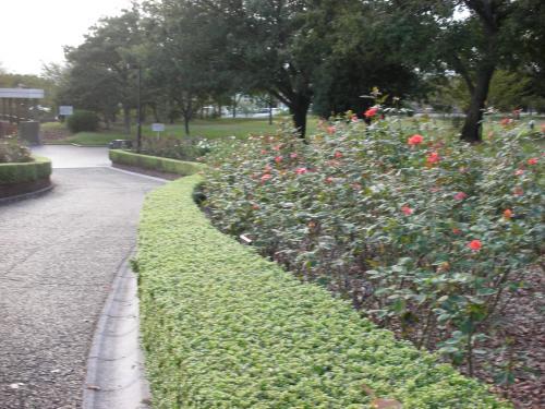 秋のバラ園1