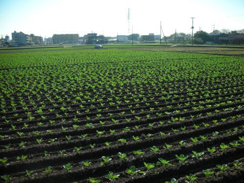 キャベツ畑2
