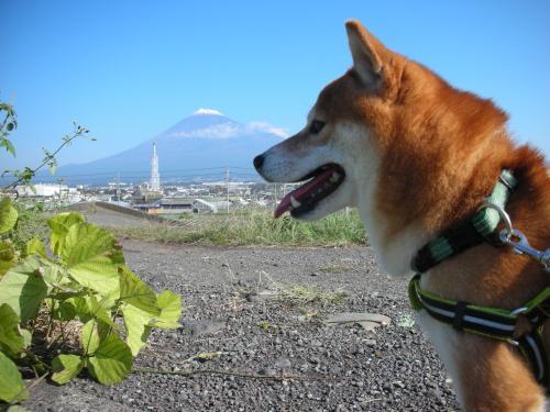 富士と柴犬
