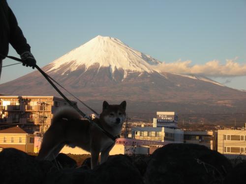 初 富士山と柴犬