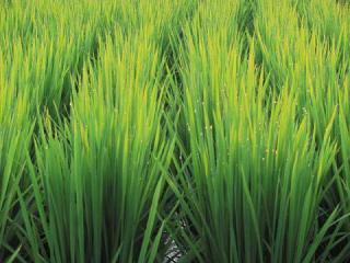 稲の露_3540