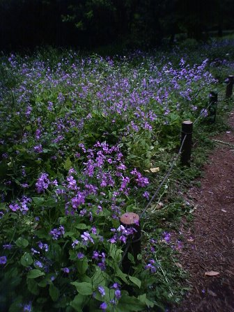 紫花菜国分寺公園2008年5月