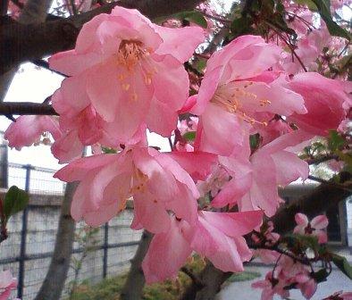花海棠2012国分寺