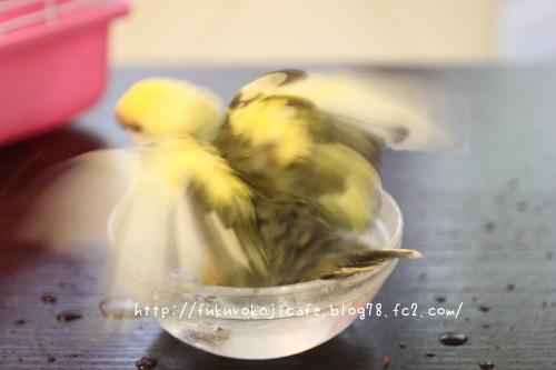 ルリちゃん水浴び2
