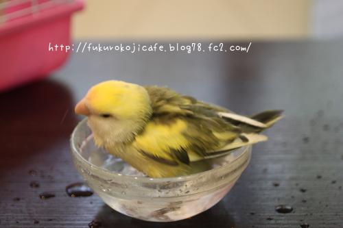 ルリちゃん水浴び1