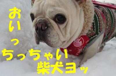 柴犬ヨkim
