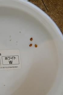 クレマチスコアク種