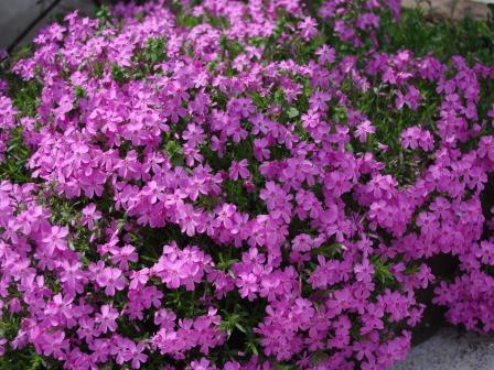H24.4.26芝桜