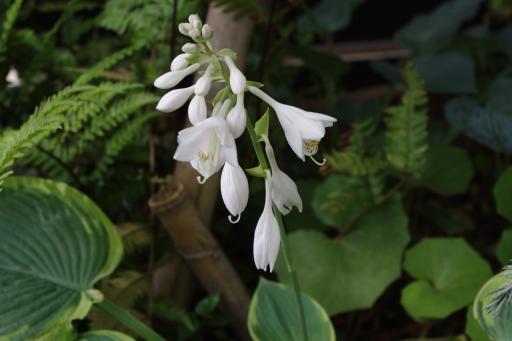 H24.6.23ギボウシの花