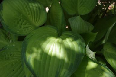 H24.6.23ギボウシ葉