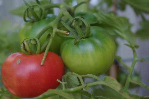 H24.7.9トマト少し赤い