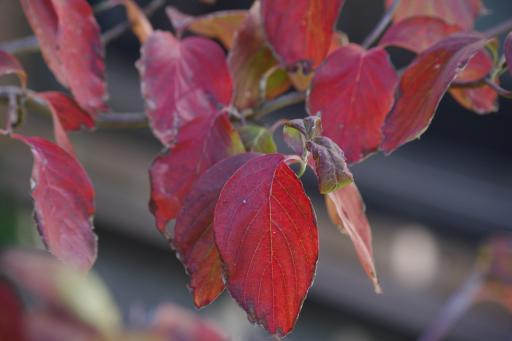 10.24ハナミズキの紅葉