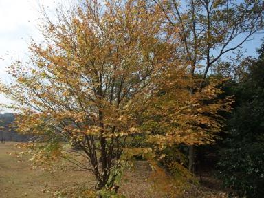11.18カツラの木