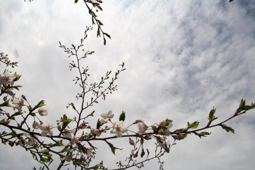 20120426 桜1
