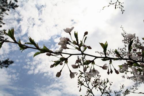 20120426 桜4