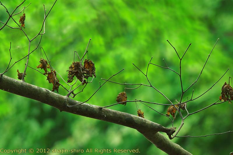 泰然自若たる朽ち木