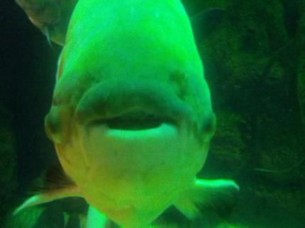 こっちを見てた魚