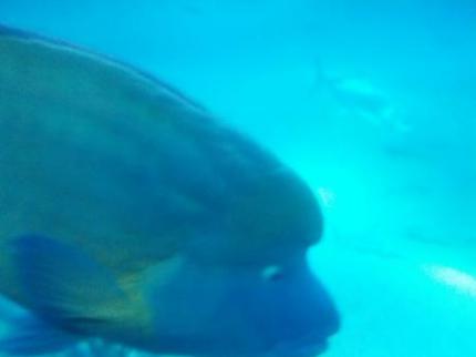 おでこの魚