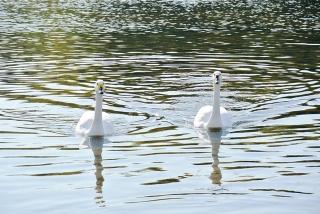 川本の白鳥05
