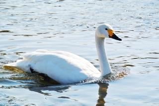 川本の白鳥06