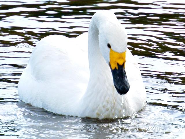 川本の白鳥07