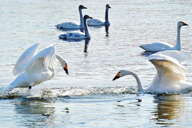 川本の白鳥08