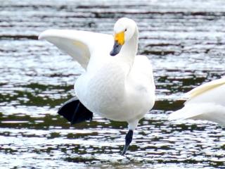 川本の白鳥09
