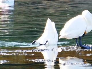 川本の白鳥10