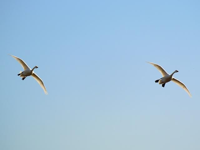 川本の白鳥12