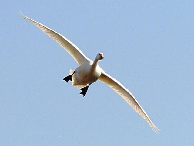 川本の白鳥13