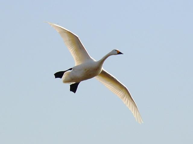 川本の白鳥14
