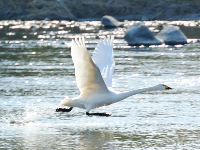 川本の白鳥15