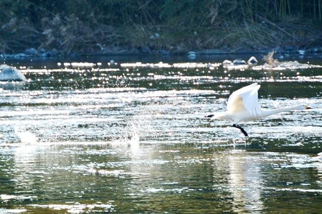 川本の白鳥16