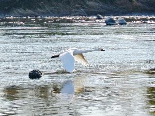 川本の白鳥17