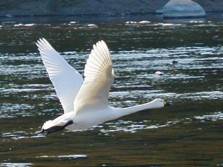 川本の白鳥18