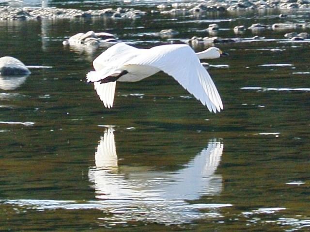 川本の白鳥19