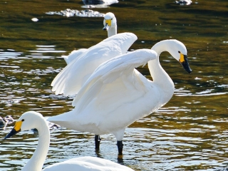 川本の白鳥20