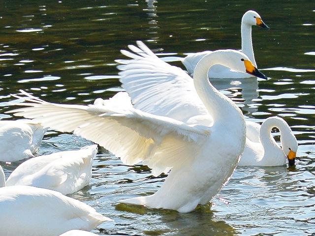 川本の白鳥21