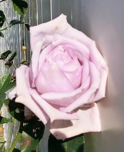 121211-紫のバラ-3
