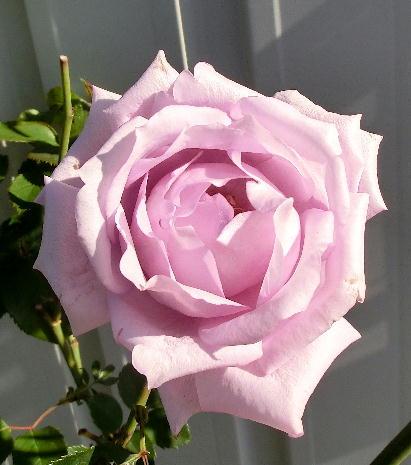 121211-紫のバラ-4