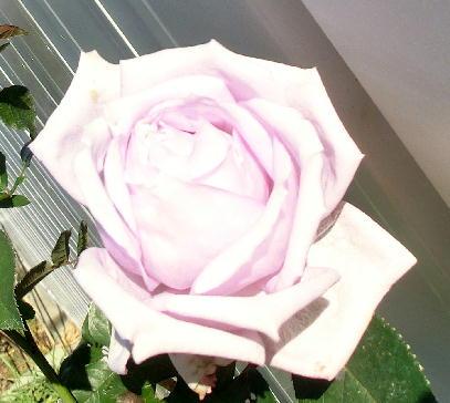 121211-紫のバラ-5