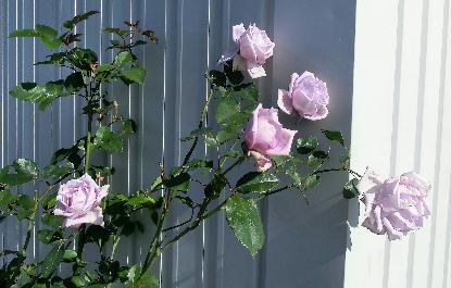 121211-紫のバラ-1
