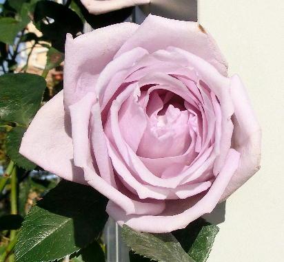 121211-紫のバラ-2