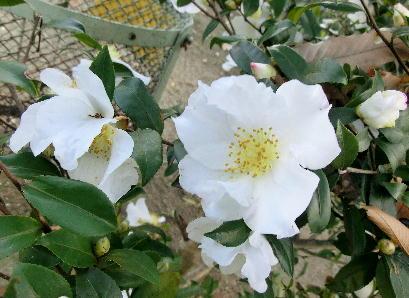 121215-公園の花-2
