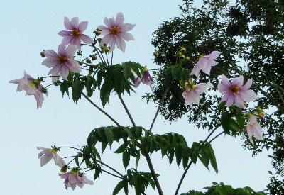140108-公園の花-皇帝ダリア-1