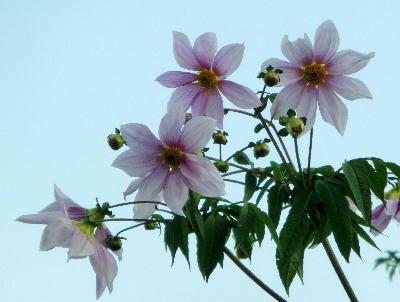 140108-公園の花-皇帝ダリア-2