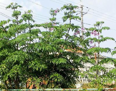 140108-公園の花-皇帝ダリア-5