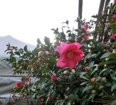 140130-公園の花-2