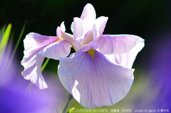 春日池の花菖蒲
